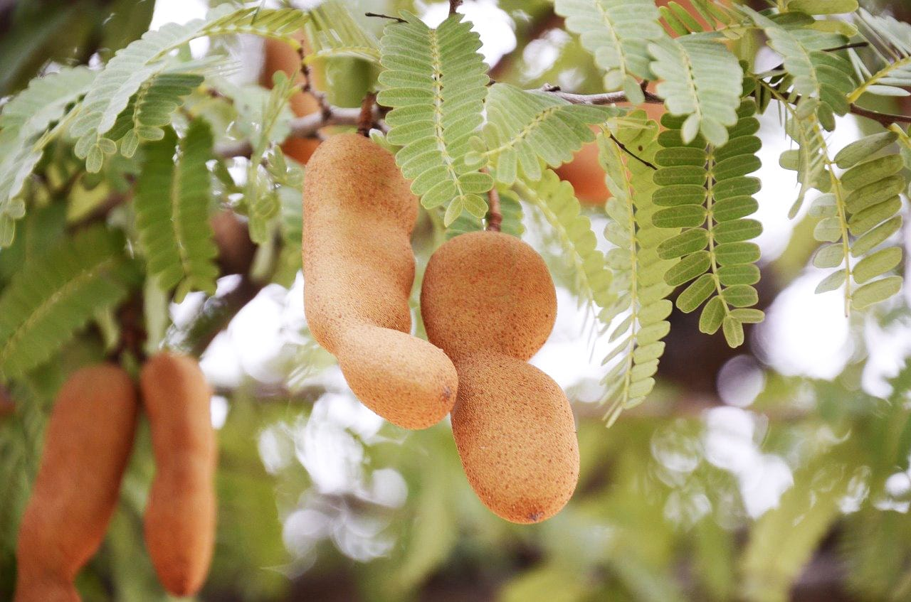 Tamarind pods attached to tree.